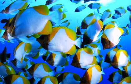 http://www.bluefish-resort.com/bluefish_fish/index.php?e=22