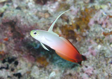http://www.okinawa-diving.info/fish/haze/post-17.php